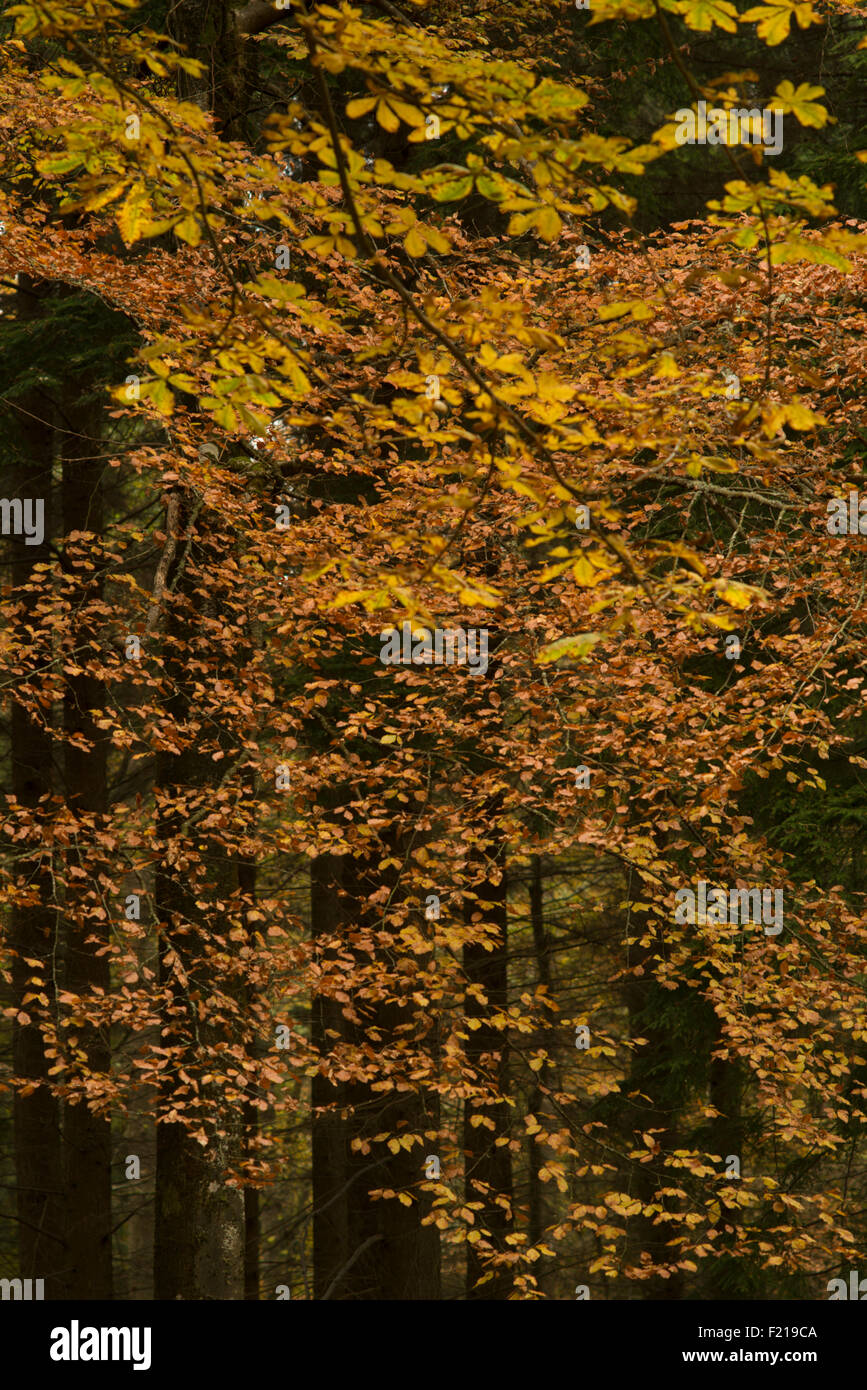 Autumn color trees near Selkirk,Borders,Scotland,UK, - Stock Image