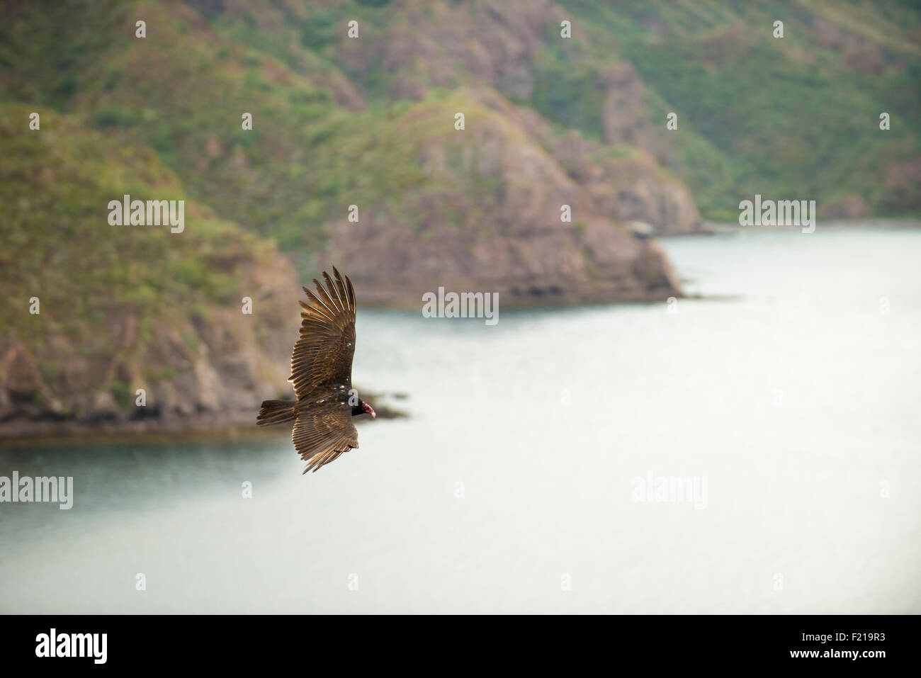 Loreto, Baja, Mexico. Detailed image of a bird soaring through the sky. - Stock Image