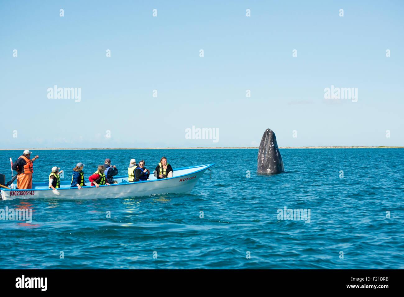 Mexico. San Ignacio Lagoon. Whale spyhopping while tourists watch. - Stock Image