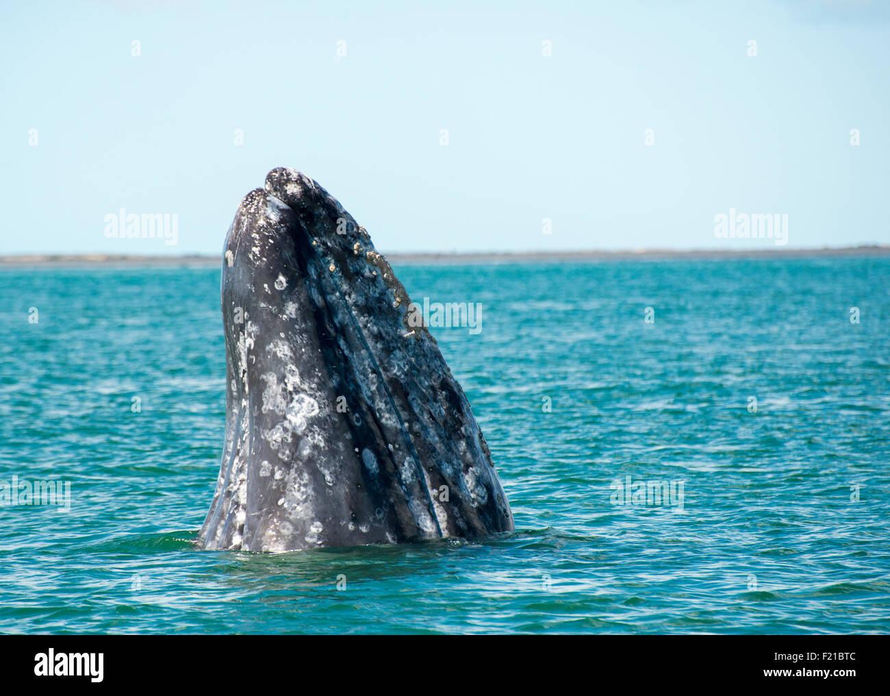 Mexico. San Ignacio Lagoon. Whale spyhopping. - Stock Image