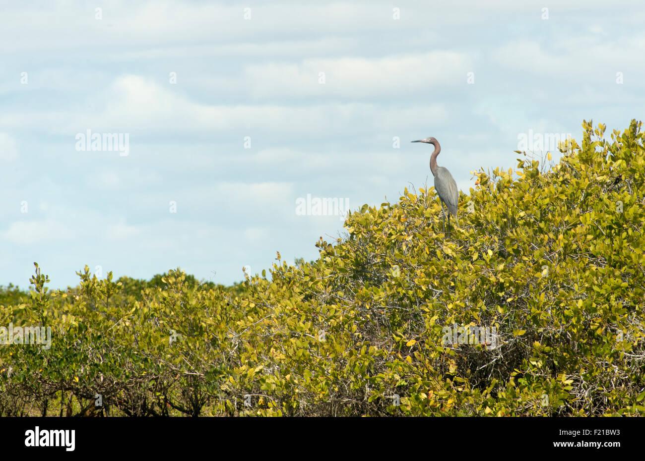 Mexico. San Ignacio Lagoon. Birds along lagoon. - Stock Image