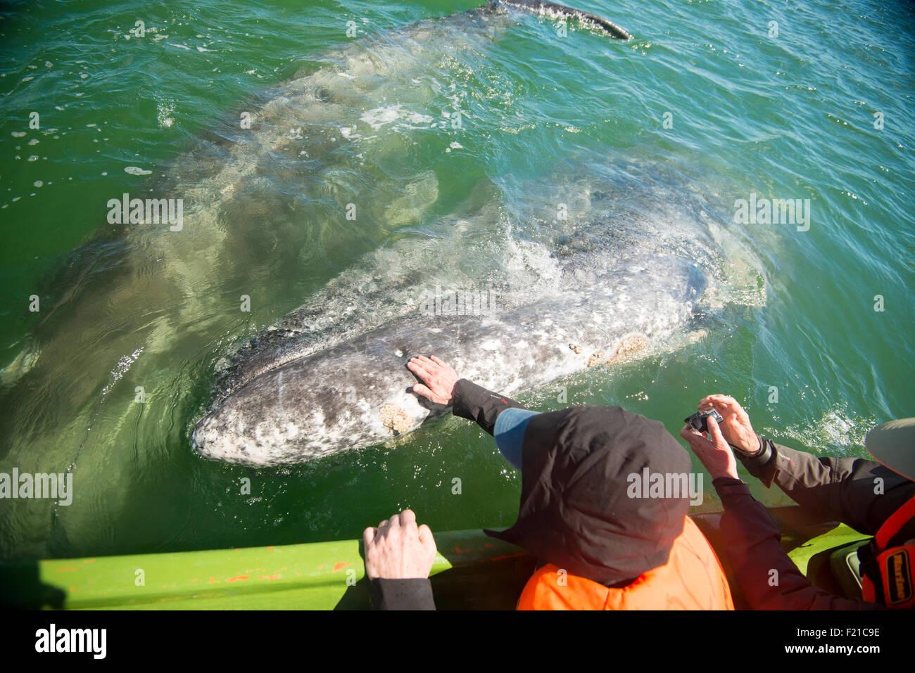 Mexico. San Ignacio Lagoon. Tourists interacting with whales. - Stock Image