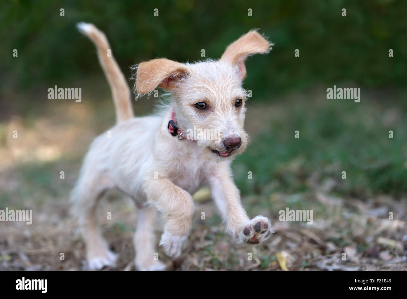 Cute Dog Running Is An Adorable Bouncing Puppy Running And Playing