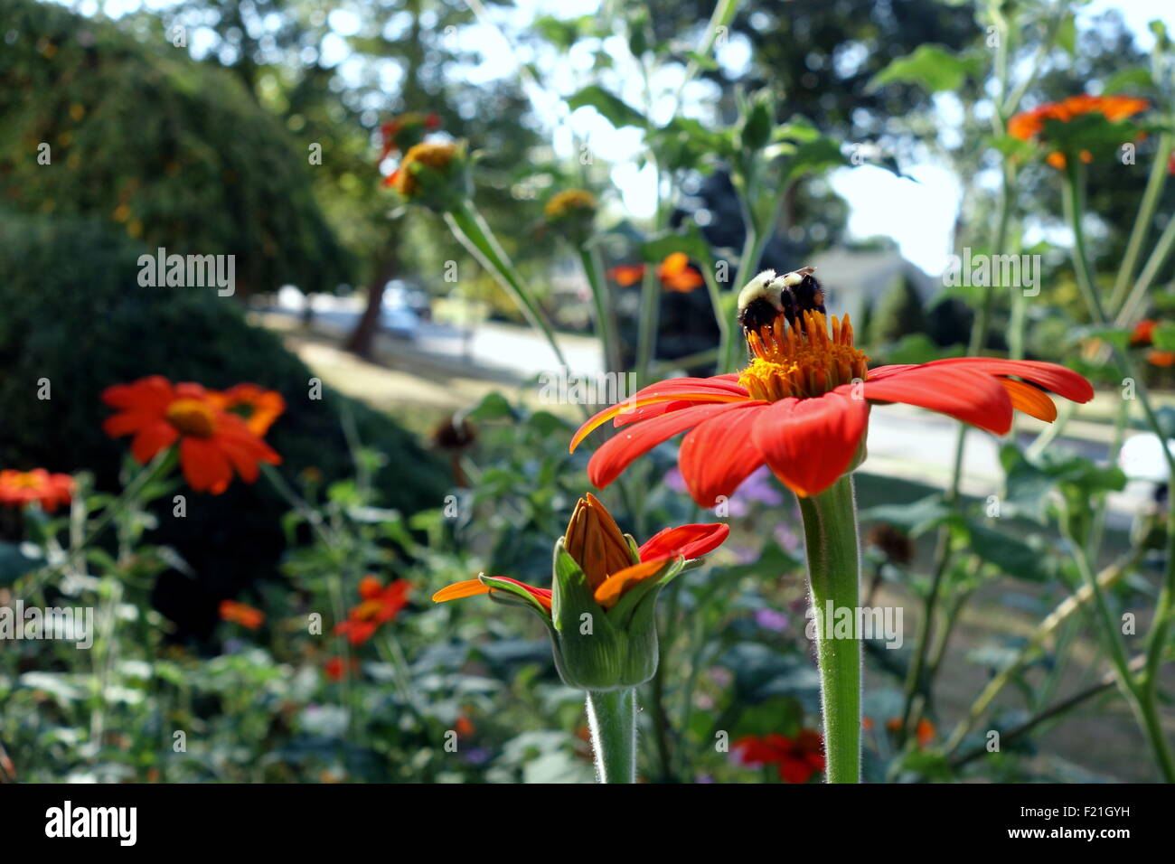 Bee pollinating Mexican sunflower - Stock Image