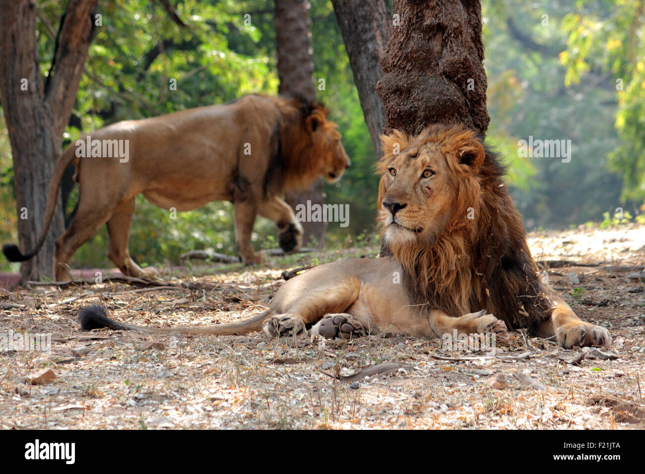 Indian Lion Gir forest Gujarat, India - Stock Image