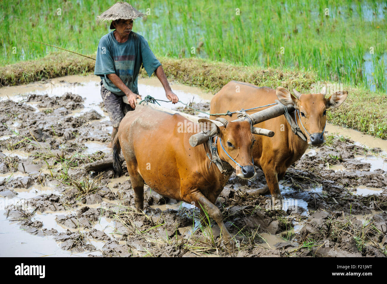 A farmer using oxen to prepare a paddy field for rice planting, Bali, Indonesia. - Stock Image