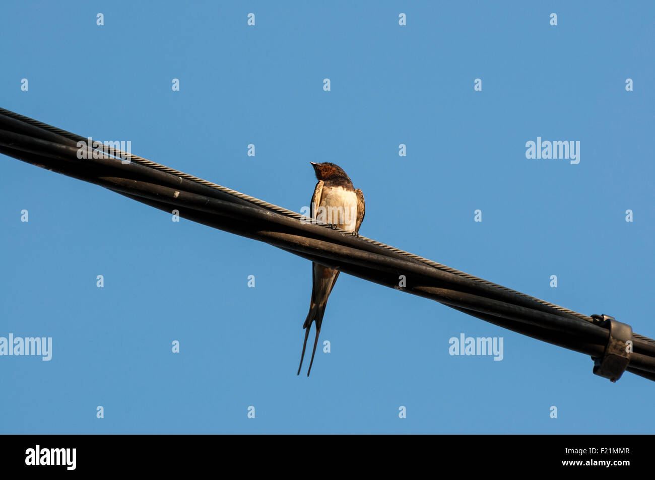 Adult of Barn swallow perched on a telephone wire Stock Photo ...