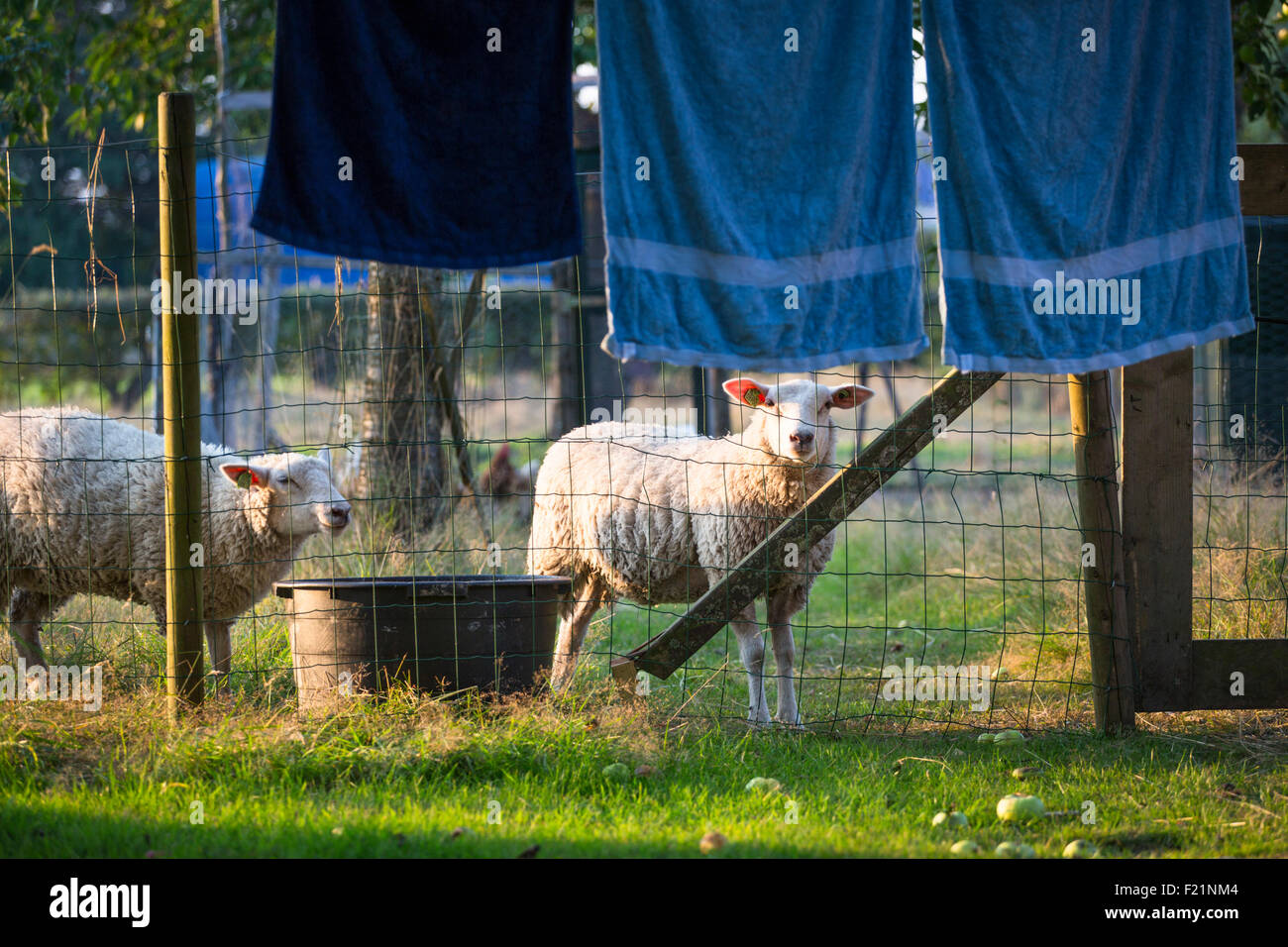 Sheep behind laundry in a rural garden with beautiful evening light - Stock Image