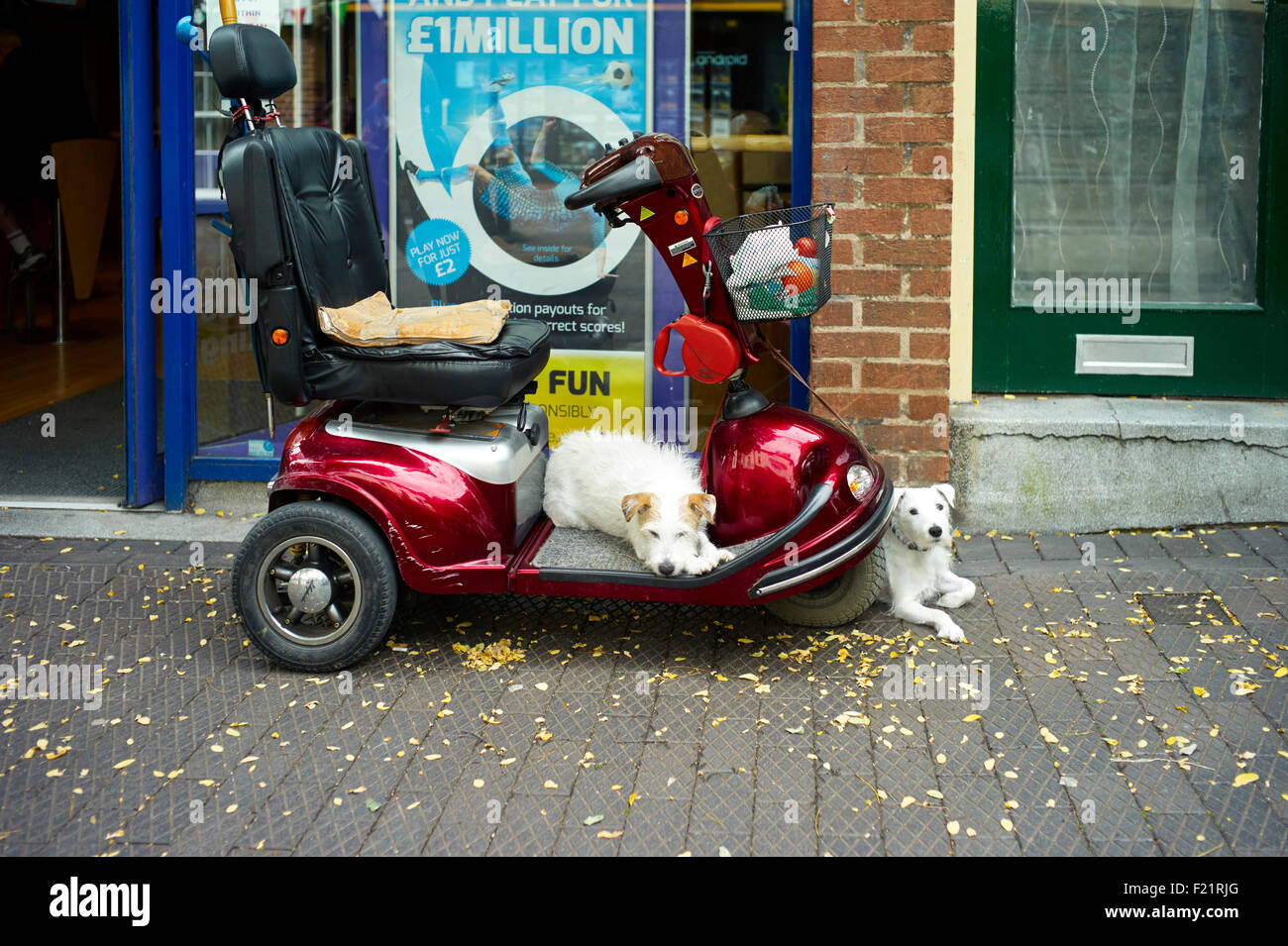 Mobility scooter outside a betting shop with two small dogs waiting - Stock Image