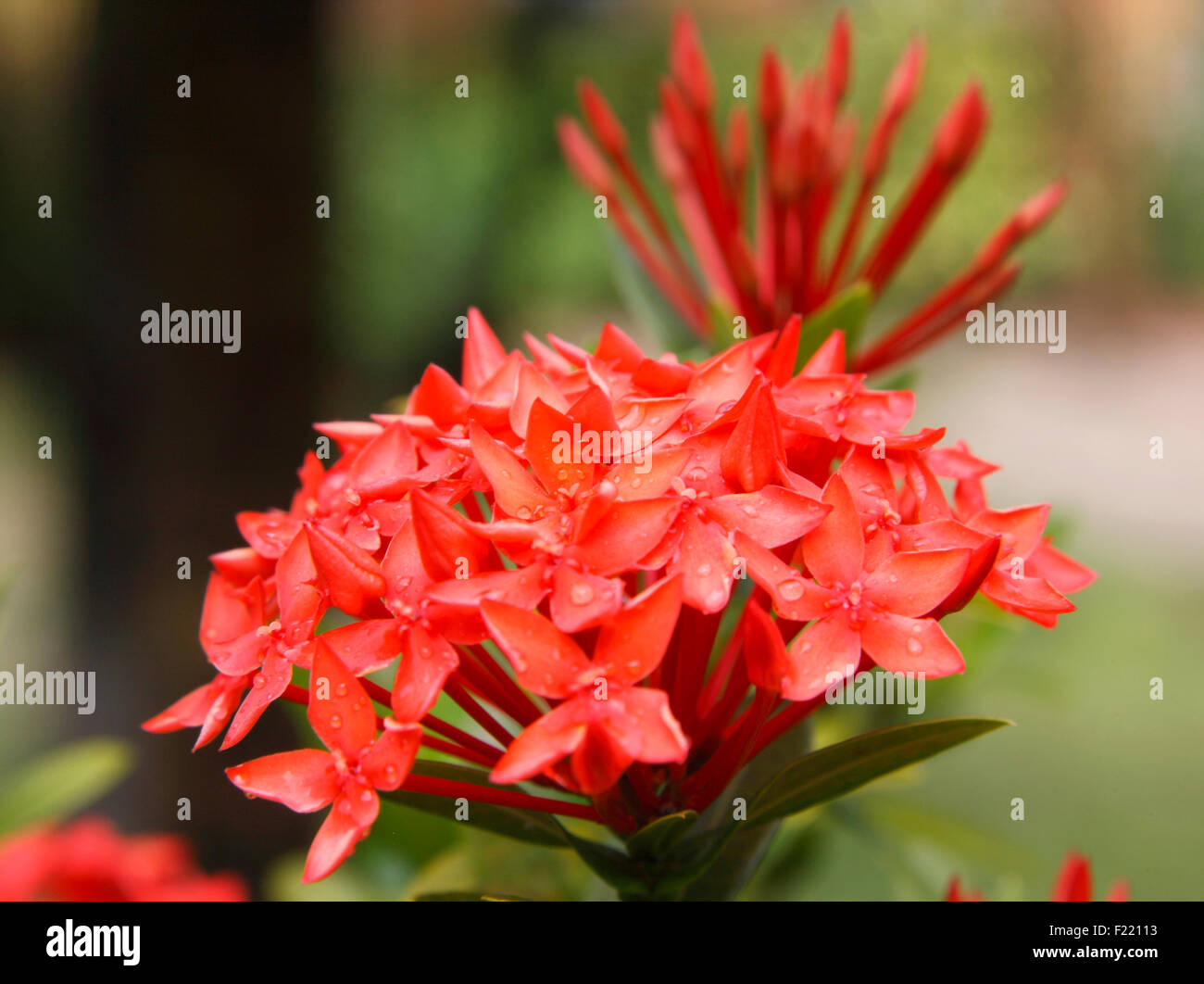 Ixora flower close up, Seychelles. - Stock Image