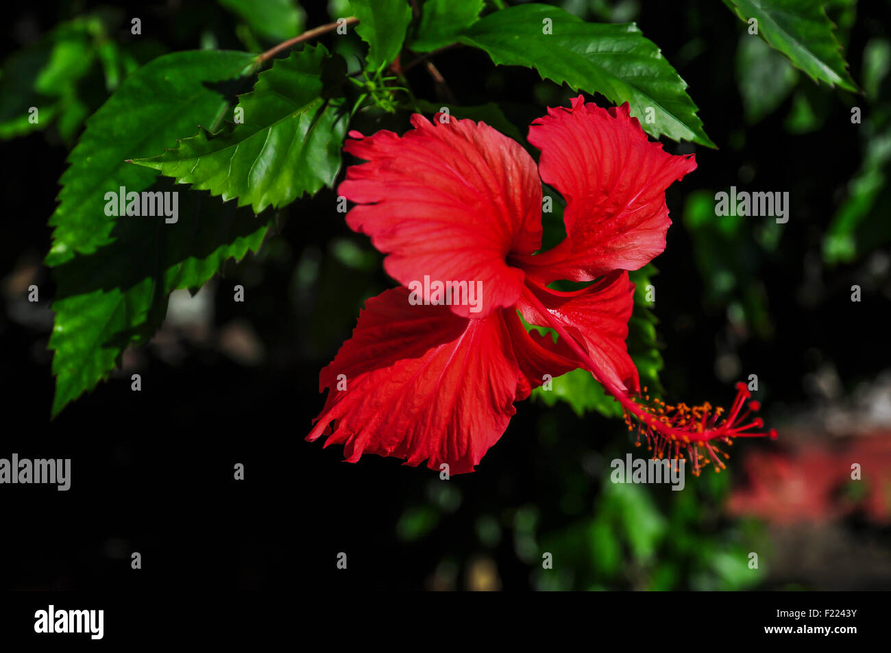 Red hibiscus flower on green and black background stock photo red hibiscus flower on green and black background izmirmasajfo