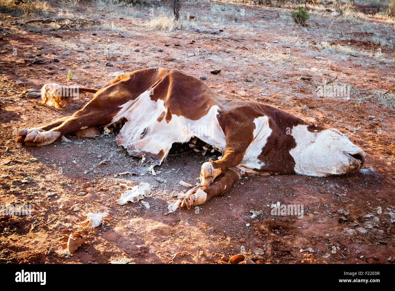 A cow succumbs to the Australian Outback heat near Gemtree in the Northern Territory, Australia - Stock Image