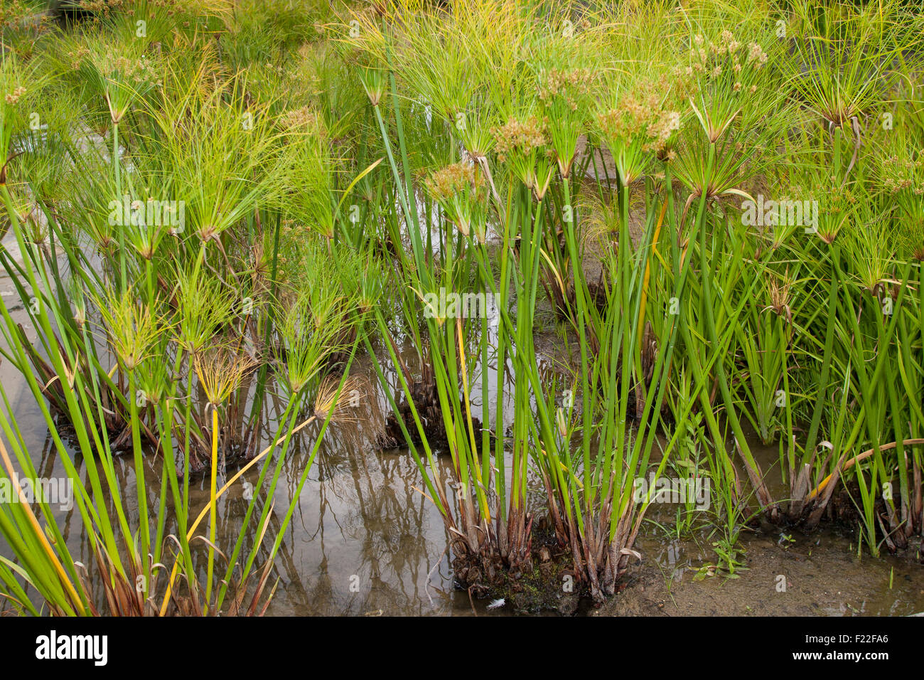 Papyrus sedge, paper reed, Indian matting plant, Nile grass, Echter Papyrus, Papyrusstaude, Zyperngras, Papier, - Stock Image