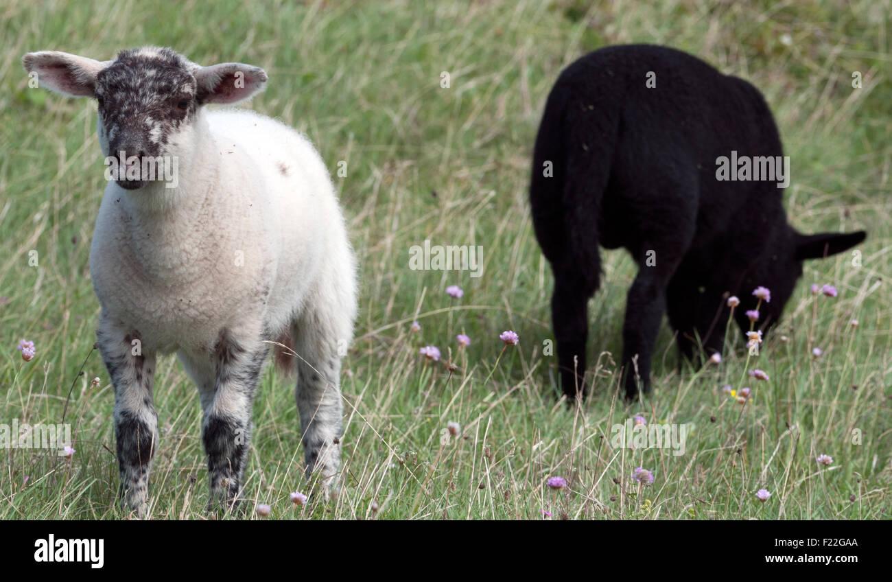 weißes und schwarzes Schaf - Stock Image