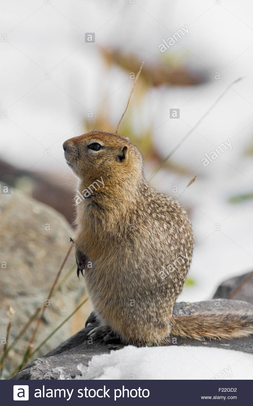 Arctic ground squirrel (Spermophilus parryii) in Denali national Park - Alaska Stock Photo