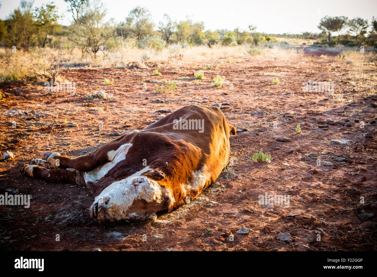 359205ce6ac5f A cow succumbs to the Australian Outback heat near Gemtree in the Northern  Territory