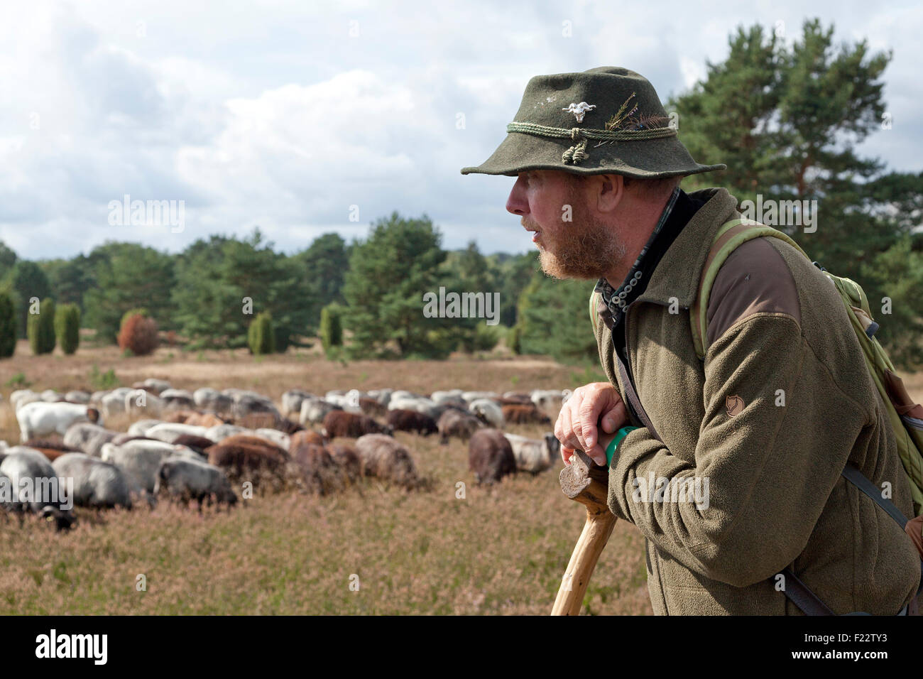 shepherd with his sheep, Lueneburg Heath near Wilsede, Lower Saxony, Germany - Stock Image
