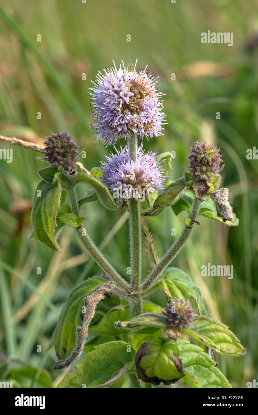 A common plant of wet habitats, flower in late summer. - Stock Image