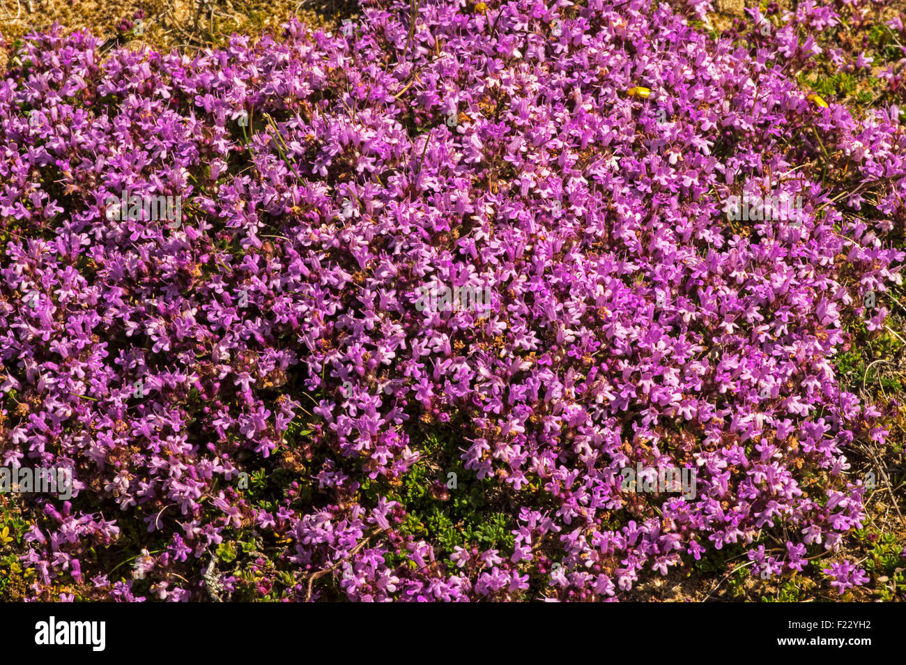 Wild Thyme, Grows on heaths and moors, attractive to bees and many other insects - Stock Image