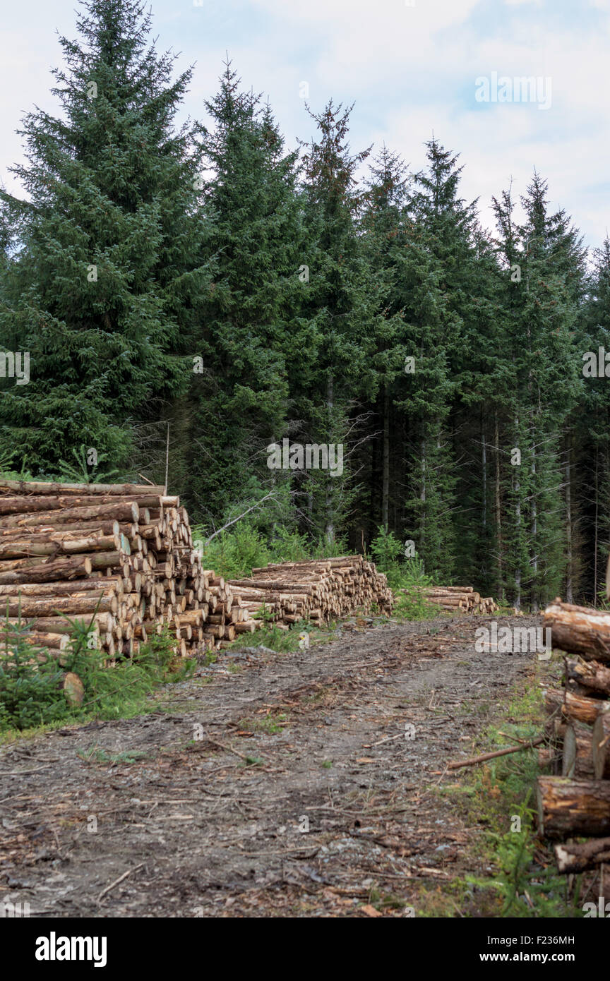 Log pile of felled trees in the forest - Stock Image