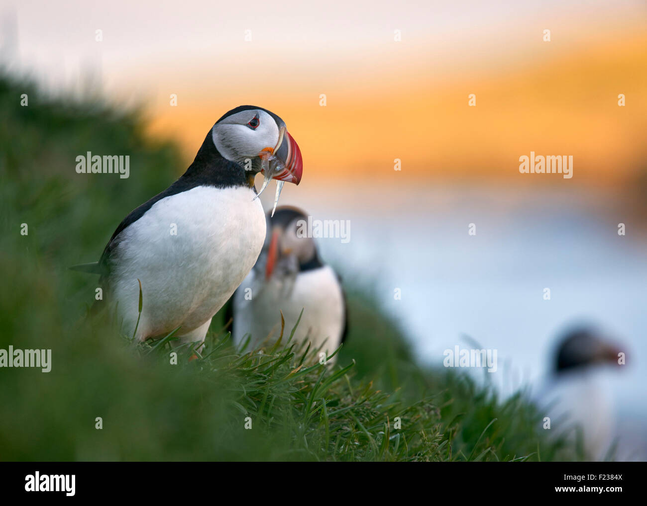 Puffins with sand eels in beaks on cliff at Borgarfjordur: on the east coast of Iceland. Stock Photo