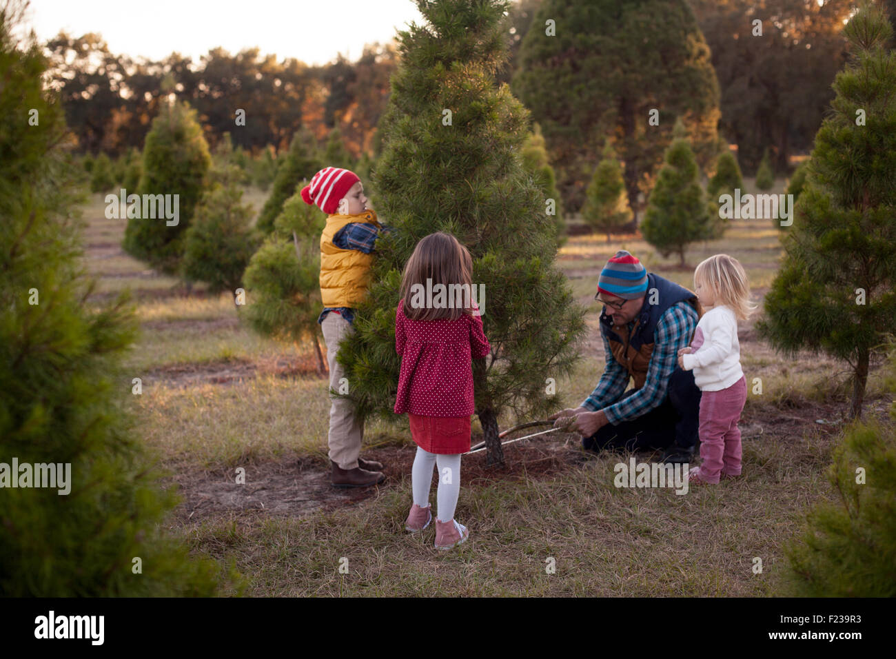 364988332 Cutting Down Christmas Tree Stock Photos   Cutting Down Christmas ...