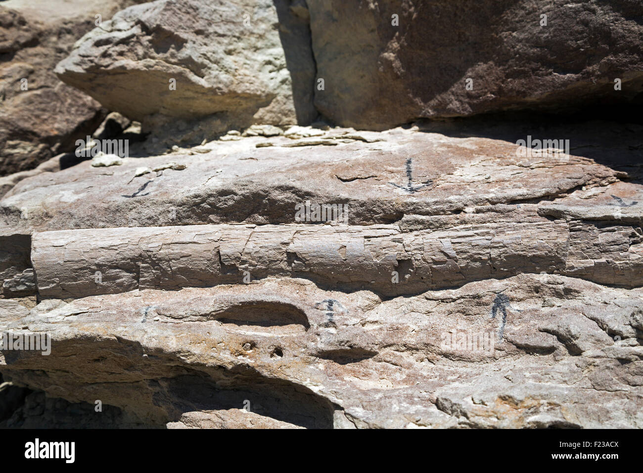Cleveland, Utah - A partial rib of a sauropod at the Cleveland-Lloyd Dinosaur Quarry. - Stock Image