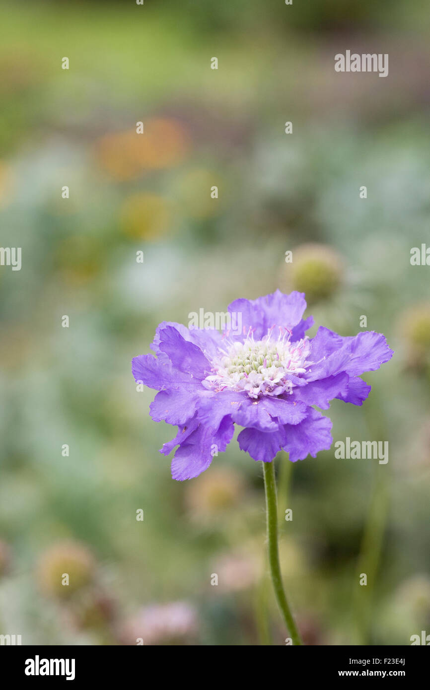 Scabiosa caucasica 'Clive Greaves' in the garden. - Stock Image