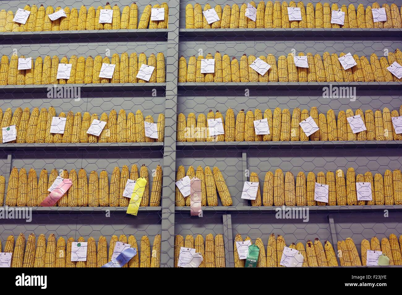 Ears of corn on display after judging at the Minnesota State Fair. - Stock Image