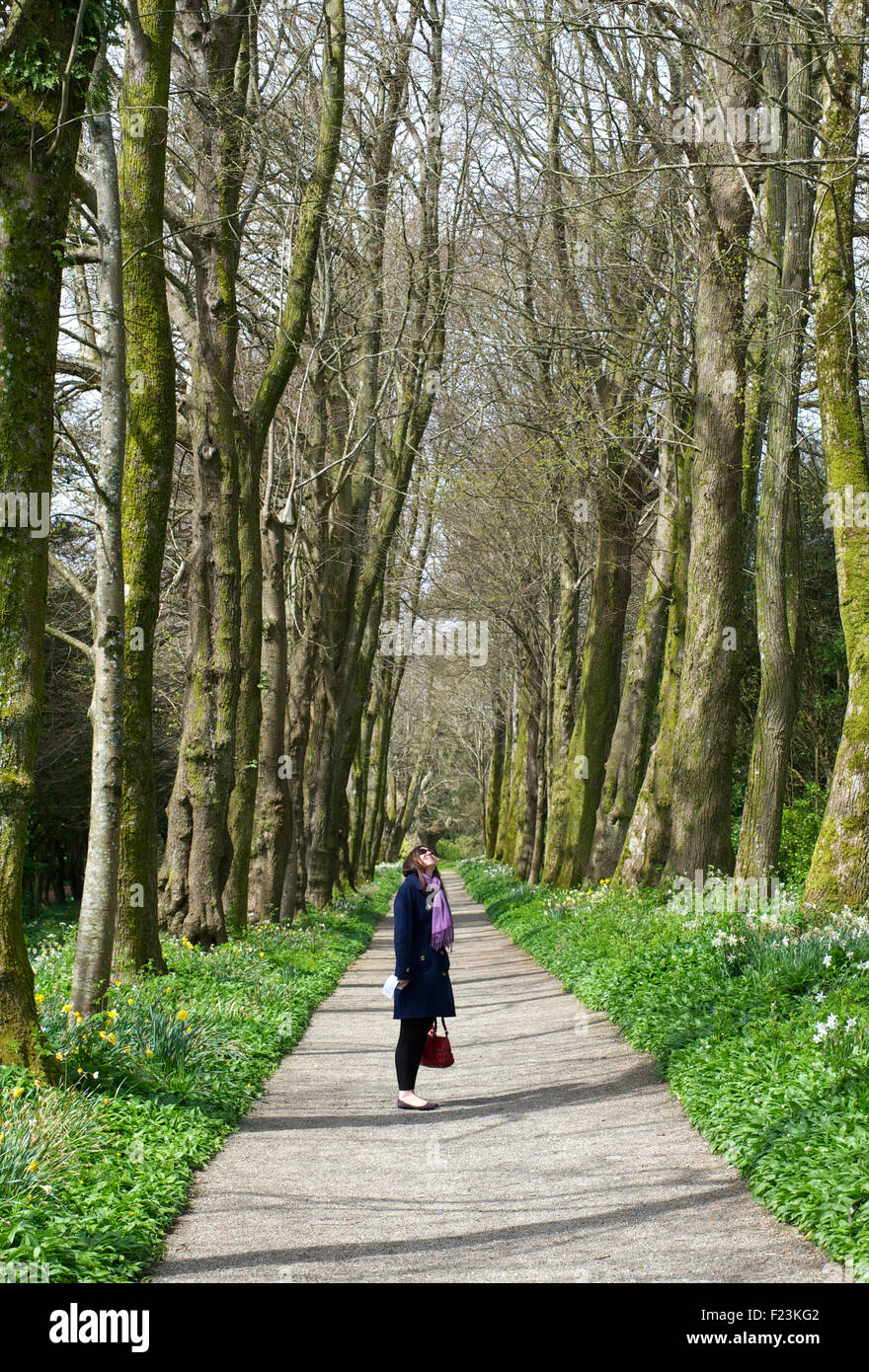 Woman standing on a path flanked with tall trees and looking up. Devon, England - Stock Image