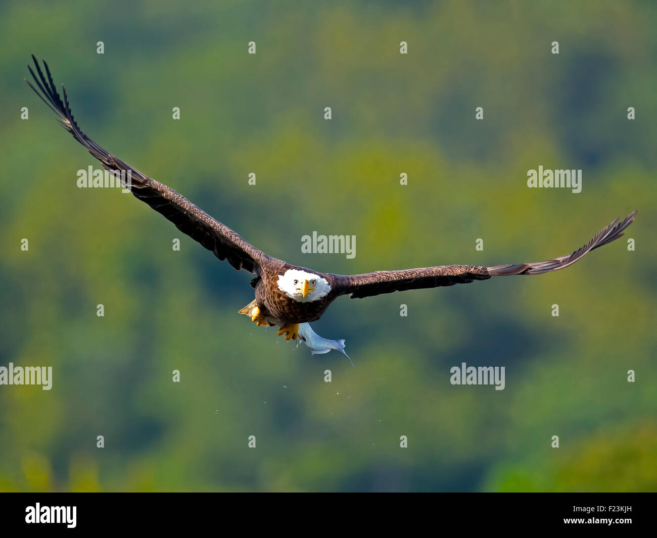 American Bald Eagle in flight with Large Fish - Stock Image