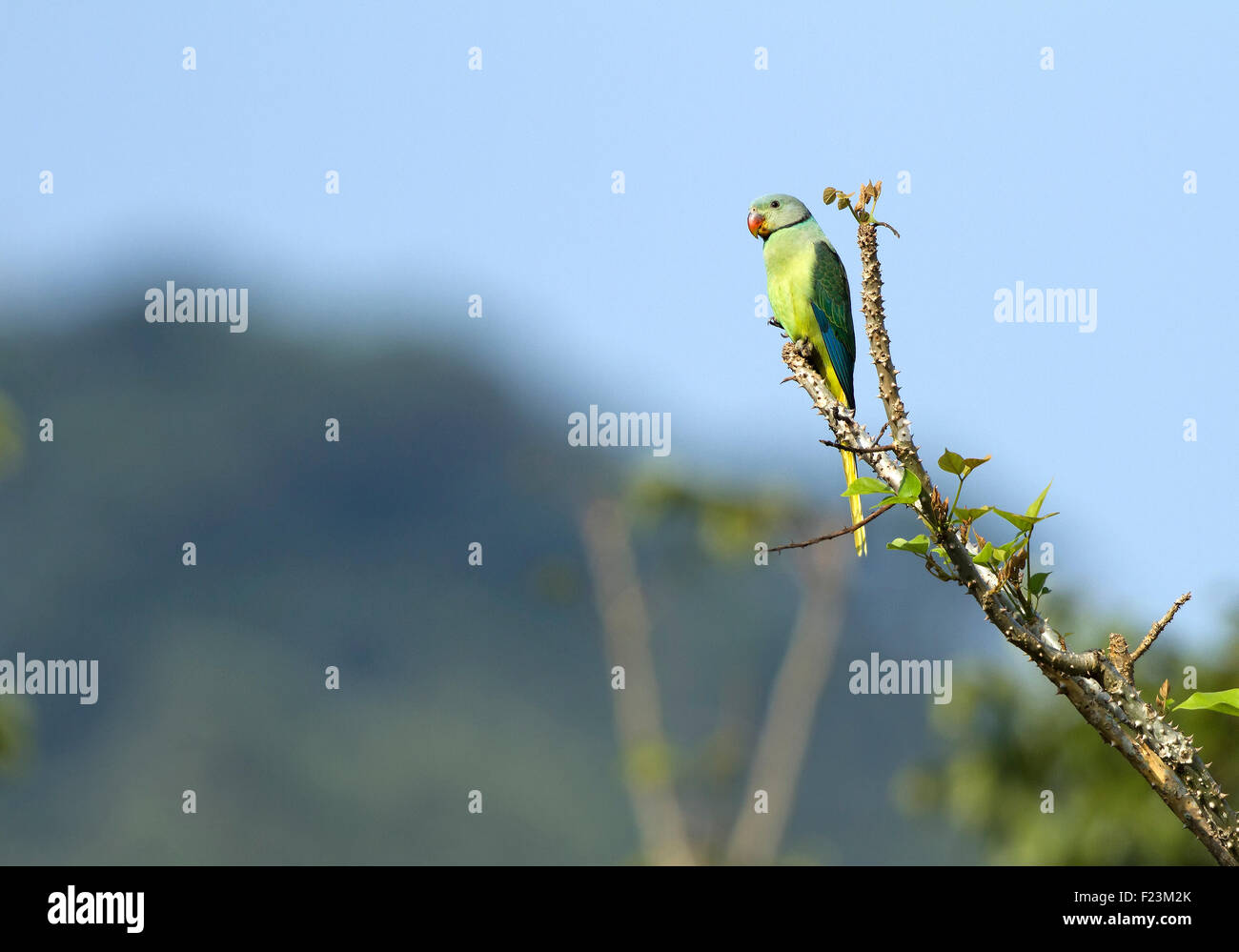 The blue-winged parakeet, also known as the Malabar parakeet is a species of parakeet endemic to the Western Ghats Stock Photo