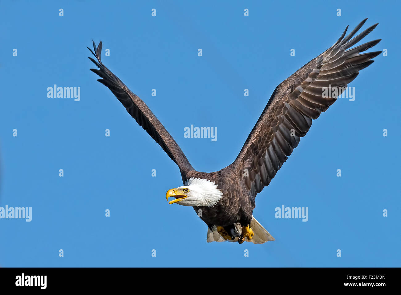 American Bald Eagle in flight - Stock Image