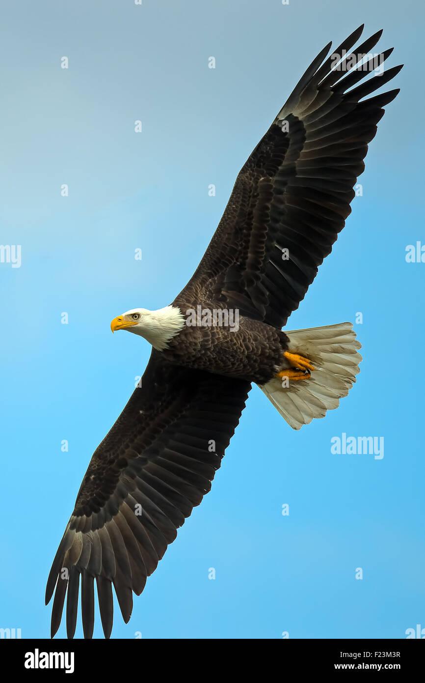 American Bald Eagle in flight - Stock Image