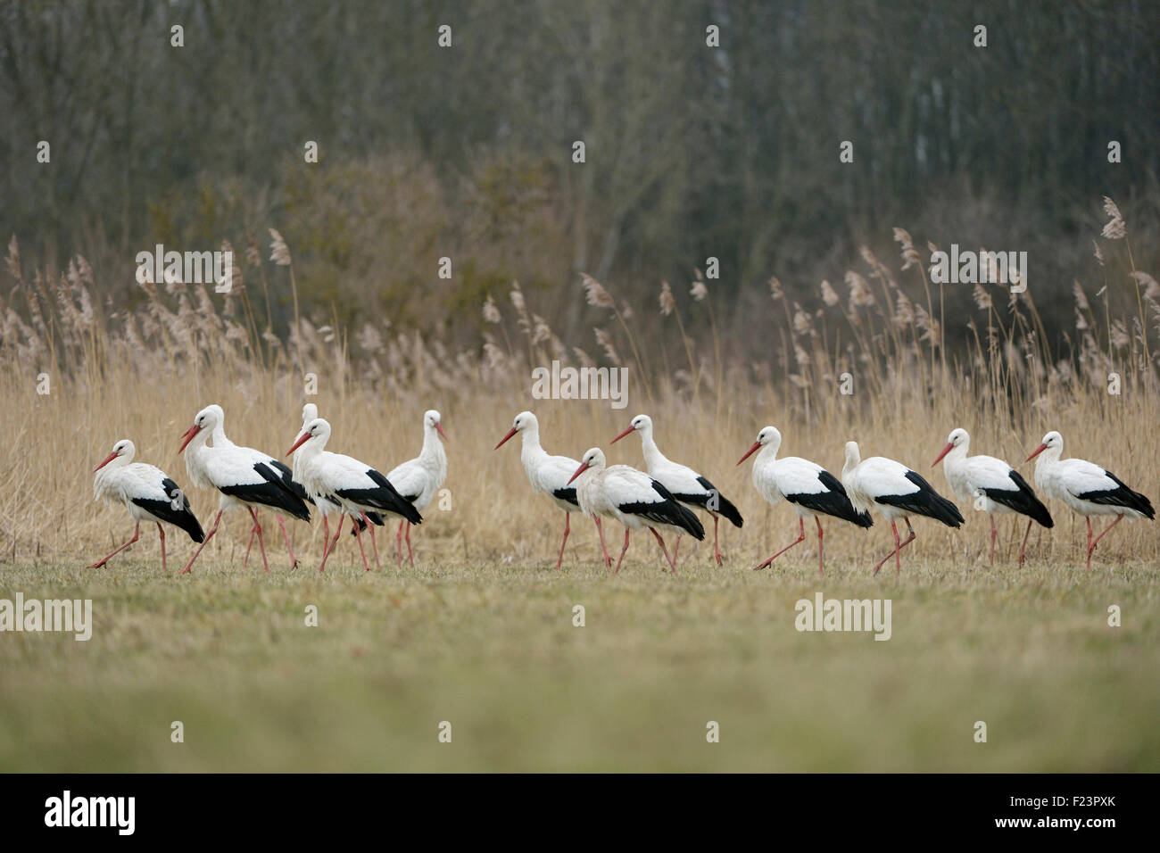 A flock of White Storks / Weissstörche ( Ciconia ciconia ) gathering in beautiful natural surrounding. Stock Photo