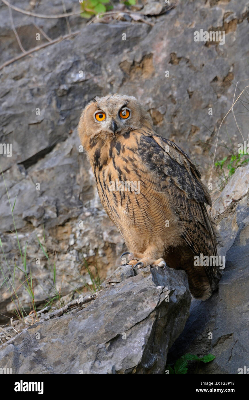 Northern Eagle Owl / Europaeischer Uhu ( Bubo bubo ) looks nicely into the camera, wildlife, old quarry. Stock Photo