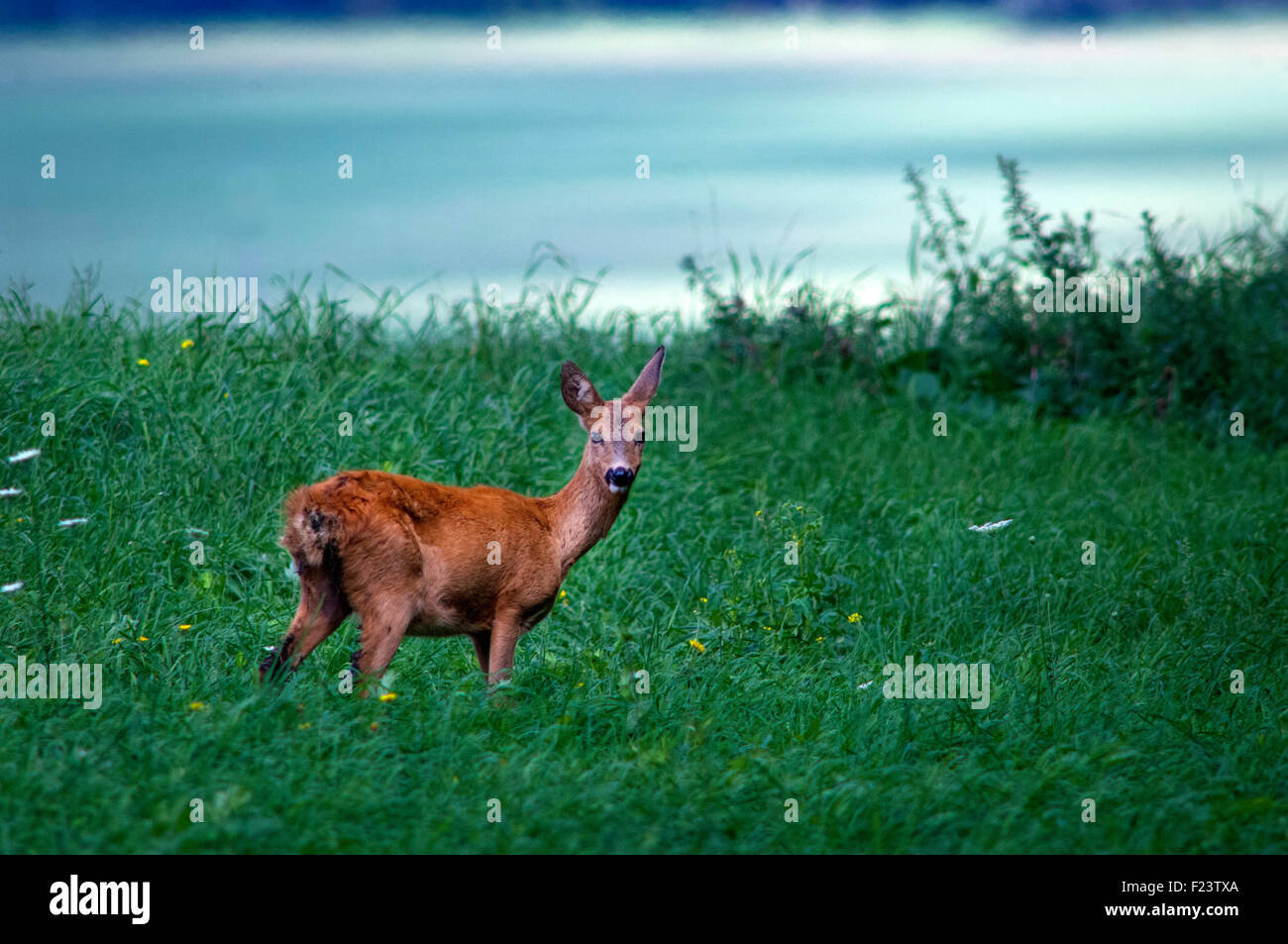A wild Deer in the early morning in Saalekreis, Saxony-Anhalt, Germany. - Stock Image