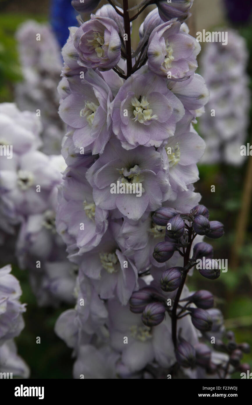 Delphinium 'Walter Gemstone' close up of flowers - Stock Image