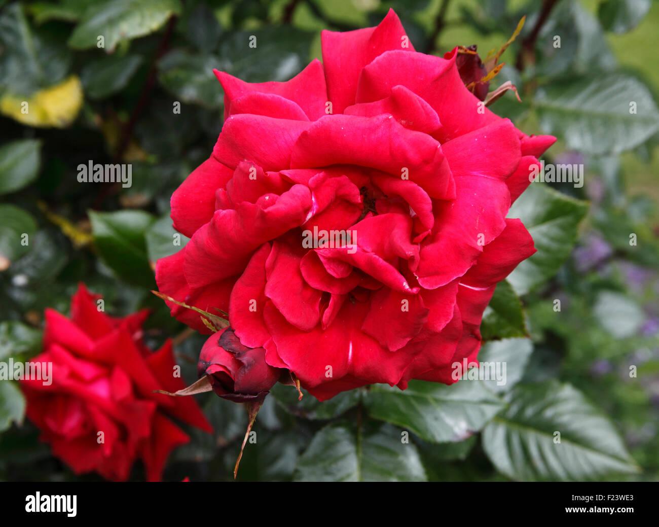 Rosa 'Ernest H Morse' Rose close up of flower - Stock Image