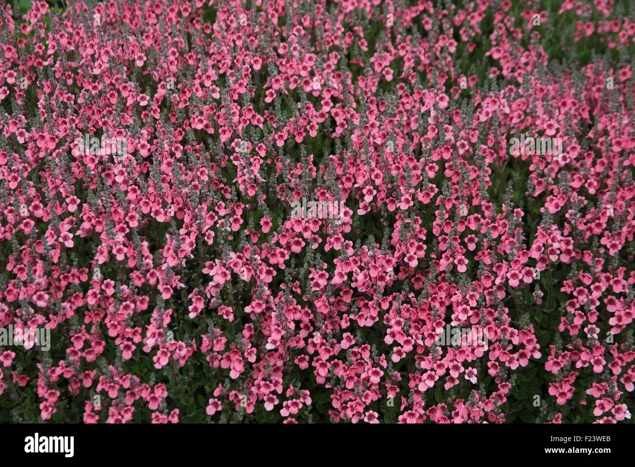Diascia fetcaniensis 'Daydream' plants in flower - Stock Image