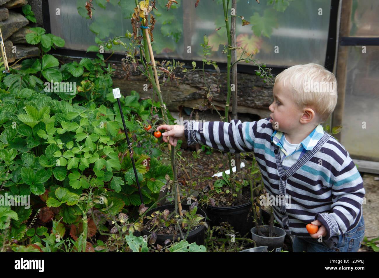 Toddler picking ripe cherry tomato growing outside - Stock Image