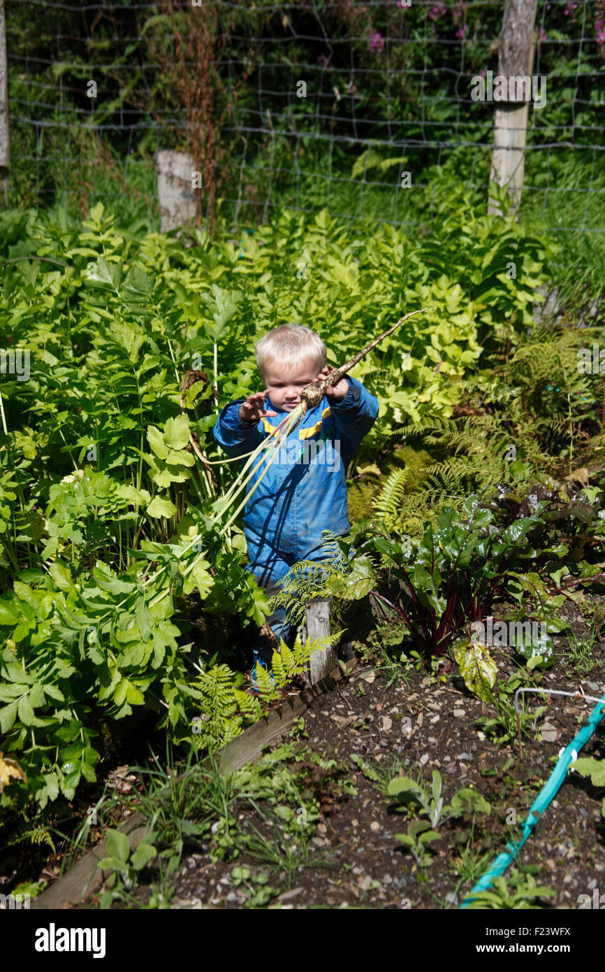 Toddler with freshly pulled parsnip - Stock Image