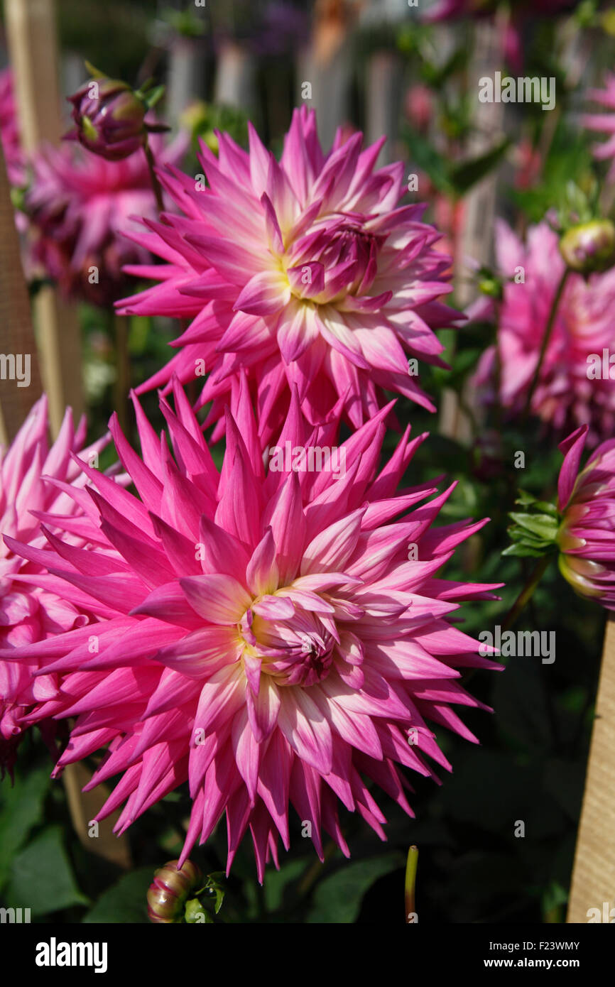 Giant Dahlia Stock Photos Giant Dahlia Stock Images Alamy