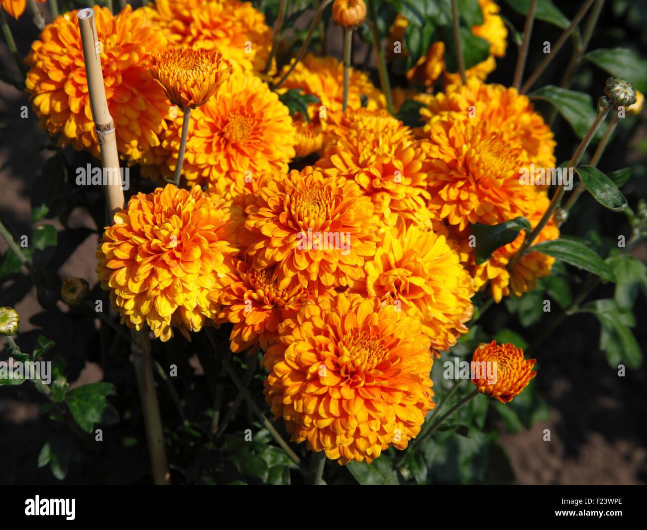 Chrysanthemum 'Pennine Bullion' close up of flowers - Stock Image