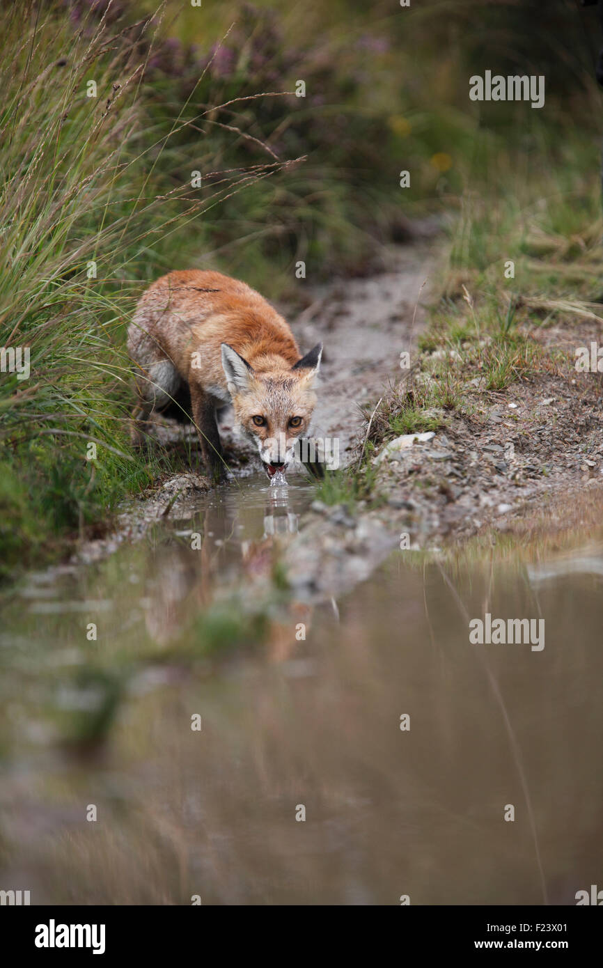 Vulpes Vulpes Red fox drinking from puddle on track - Stock Image