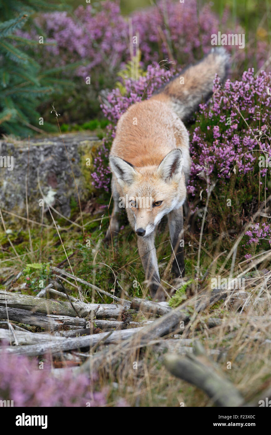 Vulpes vulpes Red fox in young forestry plantation - Stock Image