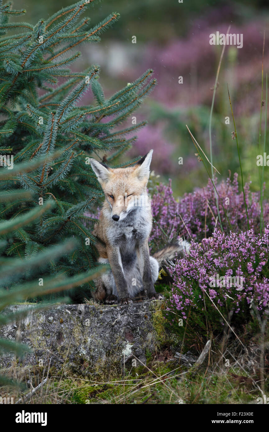 Vulpes vulpes Red fox sitting on tree stump in forestry - Stock Image