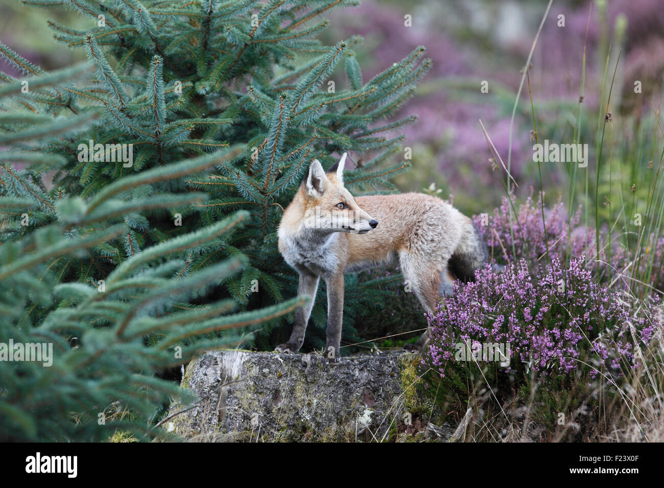 Vulpes vulpes Red fox standing on tree stump in forestry - Stock Image