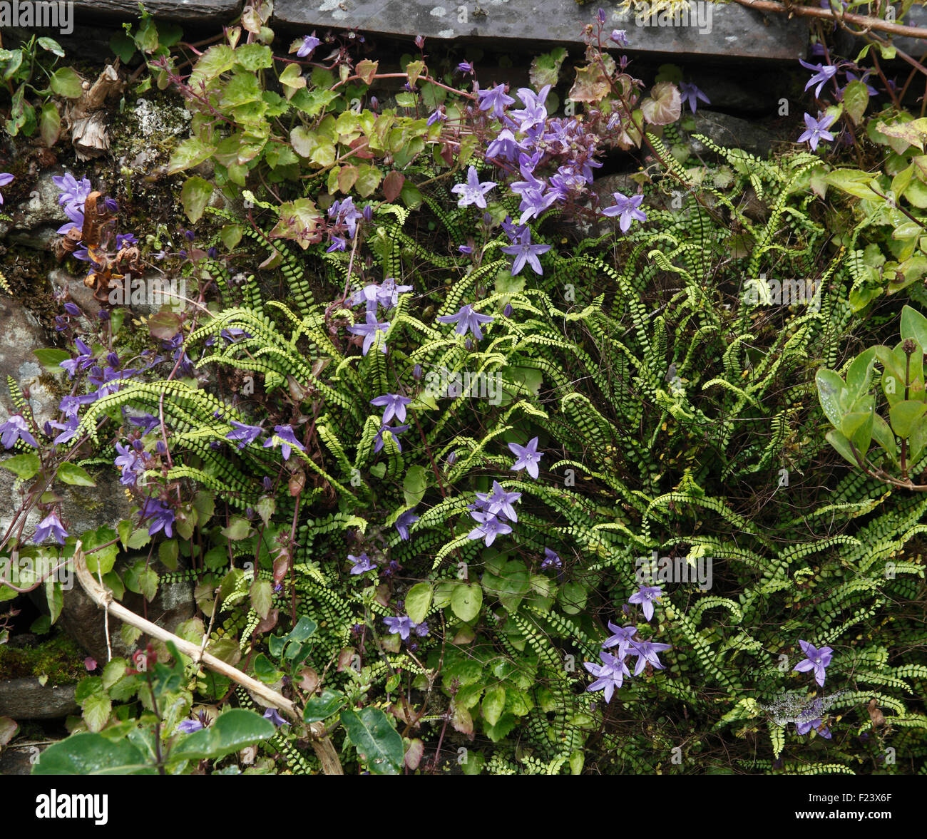Campanula poscharskyana spreading amongst ferns - Stock Image