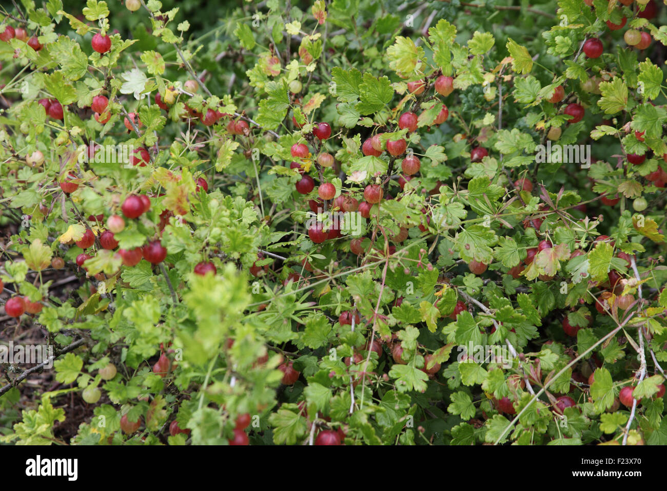 Ribes uva-crispa 'Hino Maki' Gooseberry fruit on bush - Stock Image